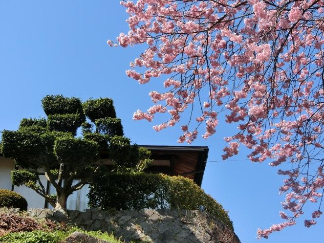 mars au Japon en 10 images matsuyama sakura cerisier en fleur