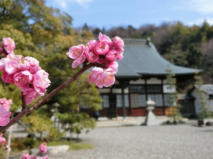Ryotanji temple Hikone. daruma origines cherry blossom