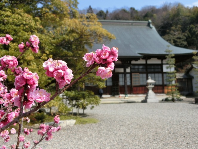 mars au Japon en 10 images Hikone pvt whv cerisier en fleurs cherry blossom sakura
