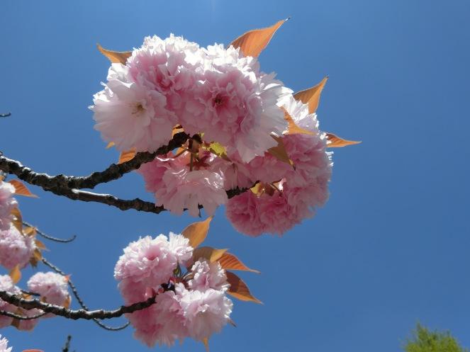 avril Japon pvt working holiday visa expatriation Kyoto geisha cerisier